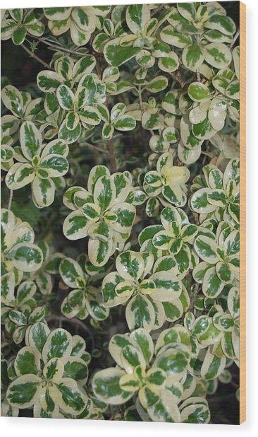 Variegated Coprosma Replens Wood Print