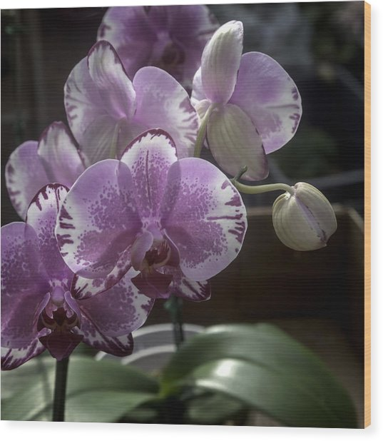 Variegated Fuscia And White Orchid Wood Print