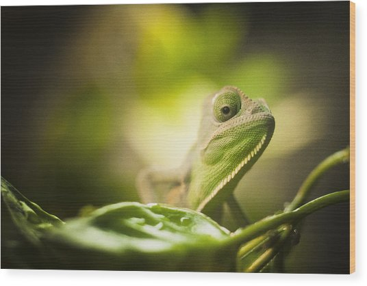 Veiled Chameleon Is Watching You Wood Print