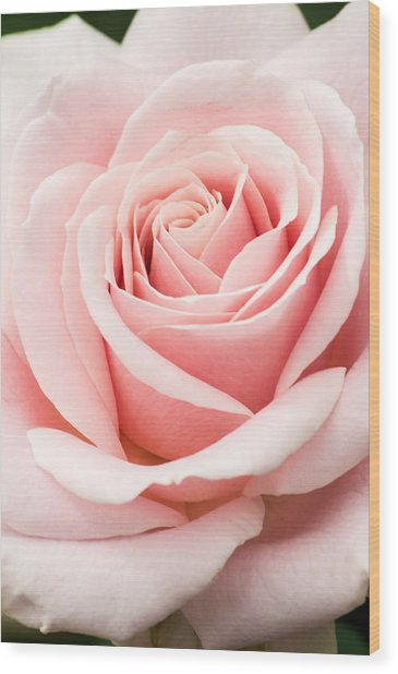 Vertical Pink Rose Wood Print