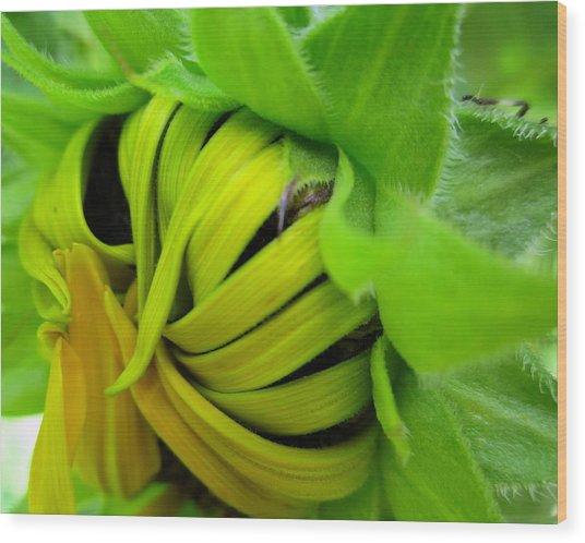 Very Shy Sunflower Wood Print