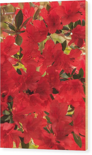 Vibrant Azalea Wood Print