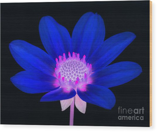 Vibrant Blue Single Dahlia With Pink Centre On Black. Wood Print by Rosemary Calvert