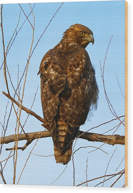 Vigilant Red-tailed Hawk  Wood Print