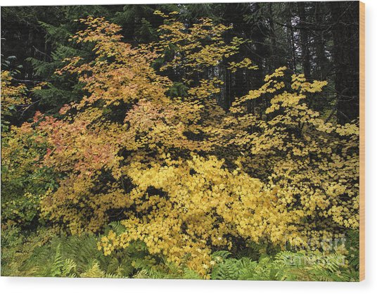 Vine Maple Glory Wood Print