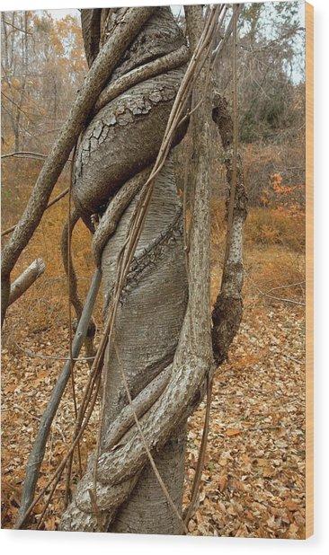 Vine Strangling A Birch Tree Wood Print