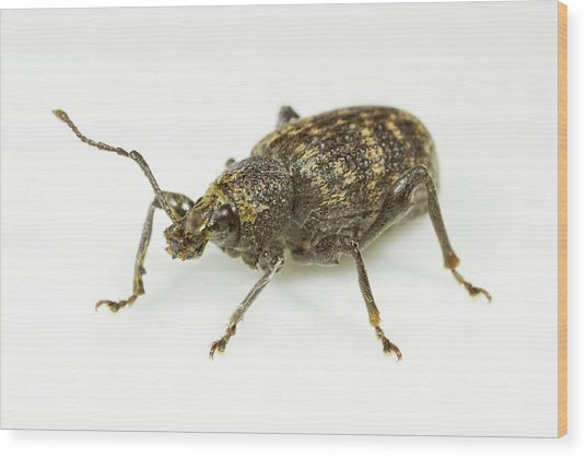 Vine Weevil Wood Print by Sinclair Stammers