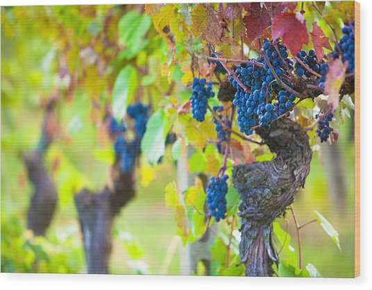 Vineyard Grapes Ready For Harvest Wood Print by Susan Schmitz