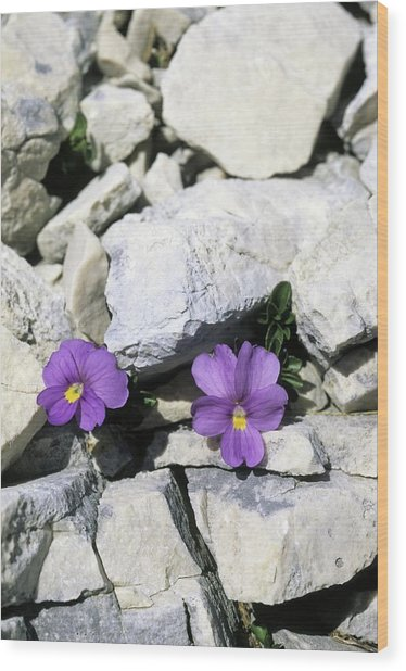 Viola Magellensis Wood Print by Bruno Petriglia/science Photo Library