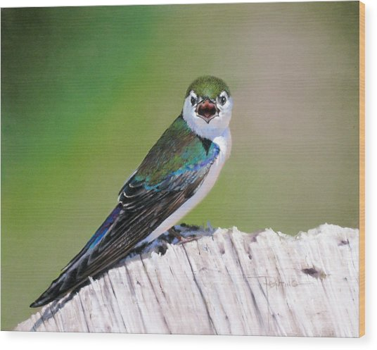 Violet Green Swallow Wood Print by Dianna Ponting