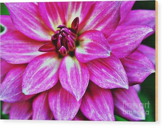 Virbrant Pink Dahlia Wood Print