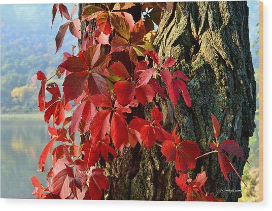 Virginia Creeper Wood Print