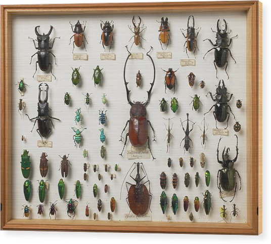 Wallace Collection Beetle Specimens Wood Print by Natural History Museum, London/science Photo Library