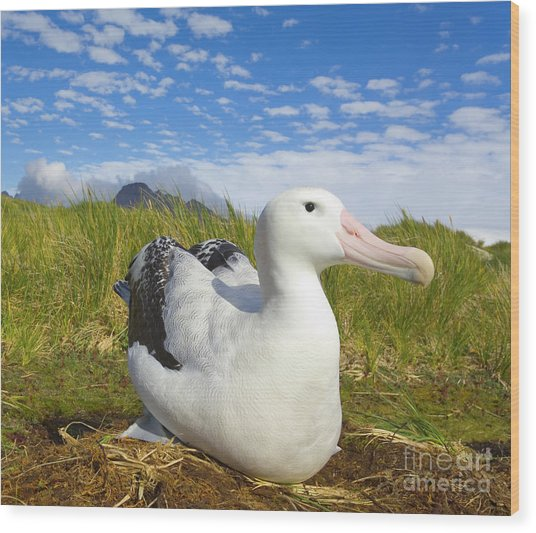 Wandering Albatross Incubating  Wood Print