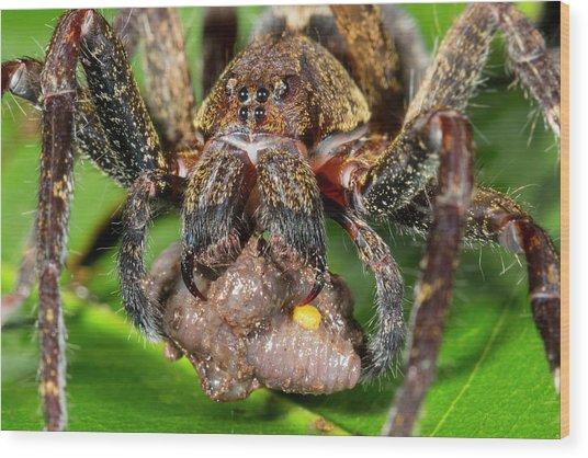 Wandering Spider Feeding Wood Print by Dr Morley Read