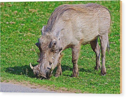 Warthog In Addo Elephant Park Near Port Elizabeth-south Africa  Wood Print