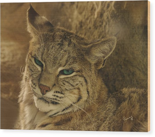 Wary Bobcat Wood Print