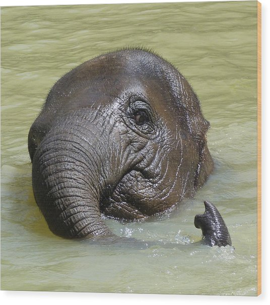 Watch My Trunk - Young Asian Elephant Wood Print