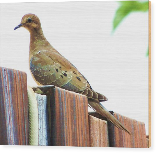 Watchful Dove Wood Print