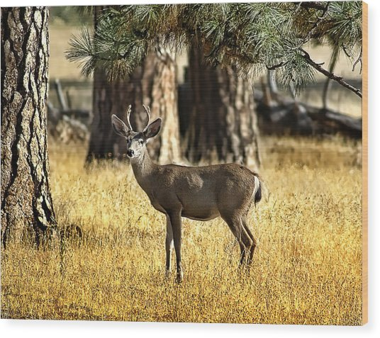 Watchful Young Buck Wood Print