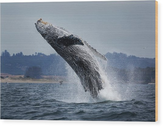 Water Ballet Wood Print by Chase Dekker Wild-life Images