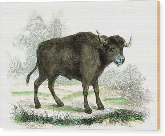Water Buffalo Wood Print by Collection Abecasis