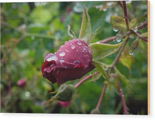 Rain Drops On Rose Wood Print