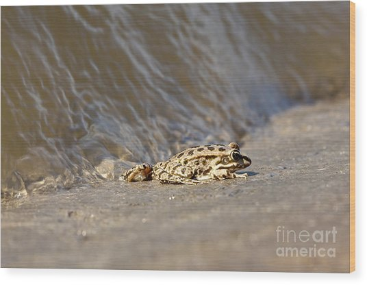 Water Frog Close Up  Wood Print