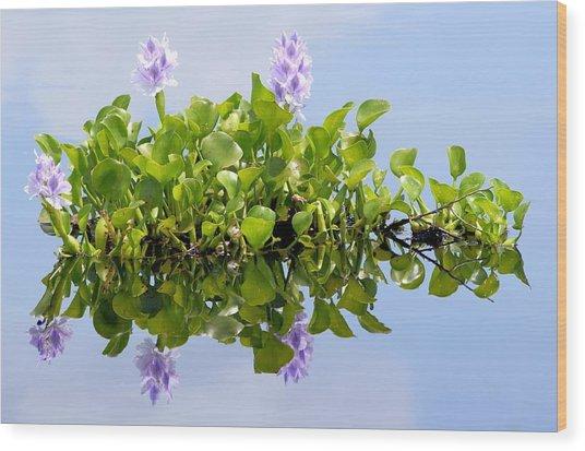 Water Hyacinth 1 Wood Print by Sheri McLeroy