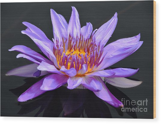 Water Lily - Aquarius Wood Print