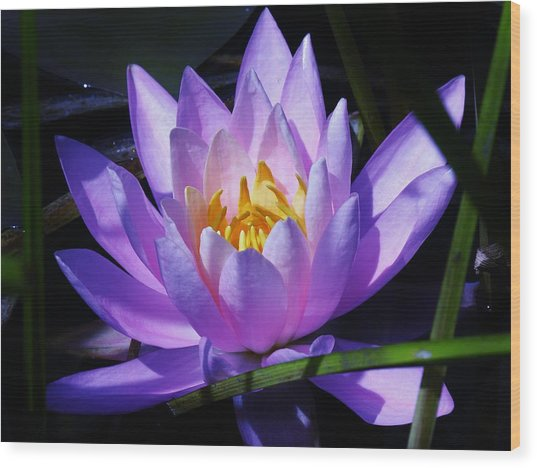 Water Lily Blues Wood Print