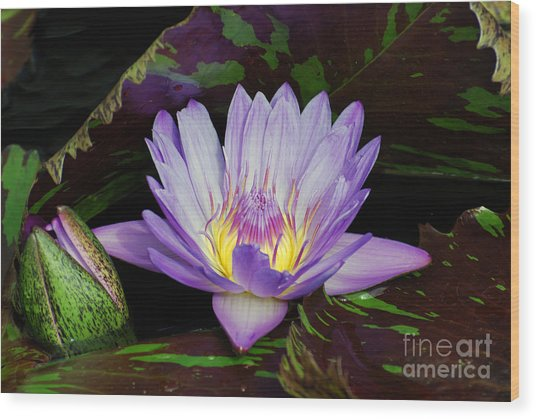 Water Lily Leopardess Wood Print