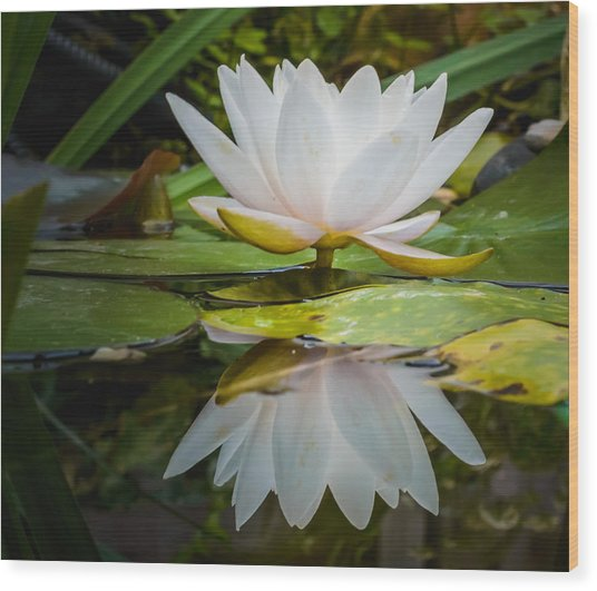 Water-lily Reflection Wood Print