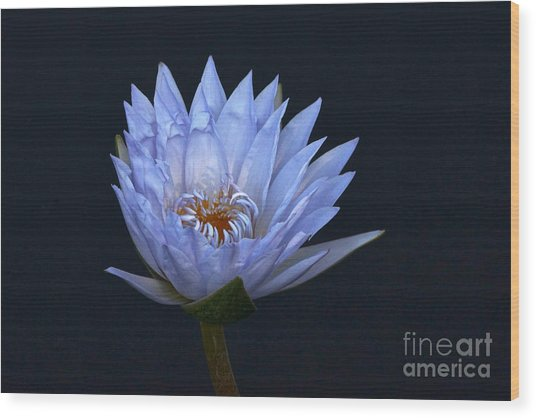 Water Lily Shades Of Blue And Lavender Wood Print
