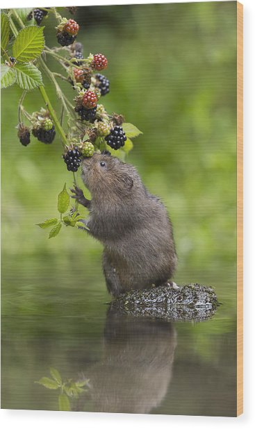Water Vole Eating Blackberries Kent Uk Wood Print