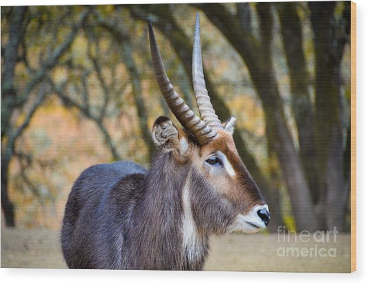 Waterbuck Wood Print by Amy Fearn