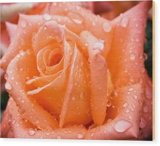 Watered Rose Wood Print