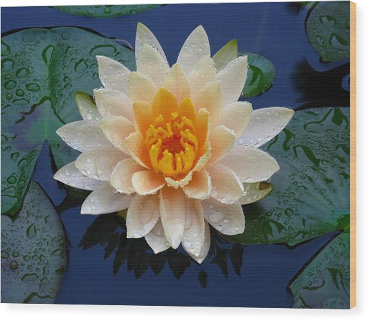 Waterlily After A Shower Wood Print