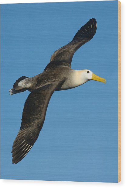 Waved Albatross Diomedea Irrorata Wood Print