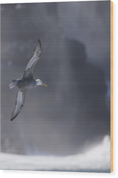 Waved Albatross In Flight Wood Print by Richard Berry