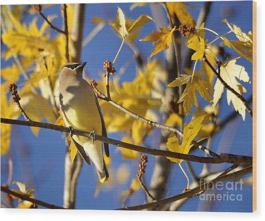 Waxwing Beauty Wood Print