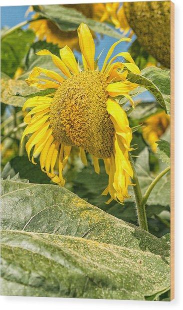 Weeping Sunflower Wood Print