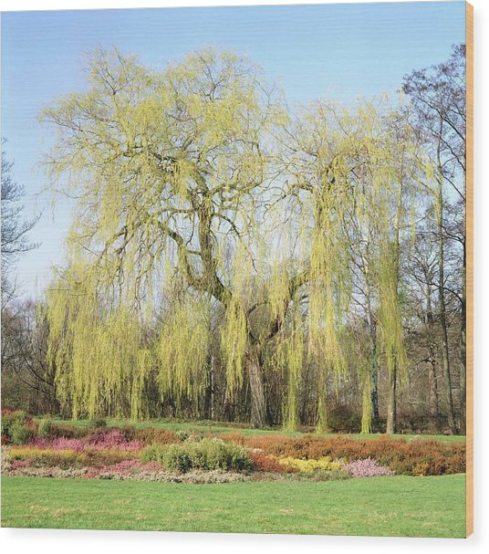 Weeping Willow Tree Wood Print by Anthony Cooper/science Photo Library