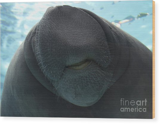 West Indian Manatee Smile Wood Print
