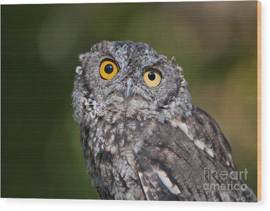 Western Screech Owl No. 3 Wood Print