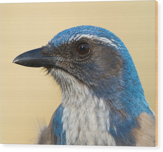 California Scrub-jay Wood Print