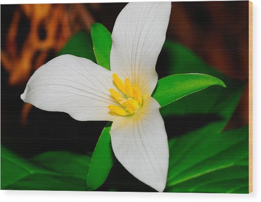 Western White Trillium Wood Print