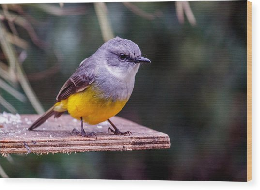 Western Yellow Robin Wood Print