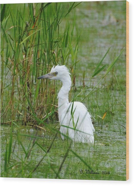 Wet Juvenile Little Blue Heron Wood Print