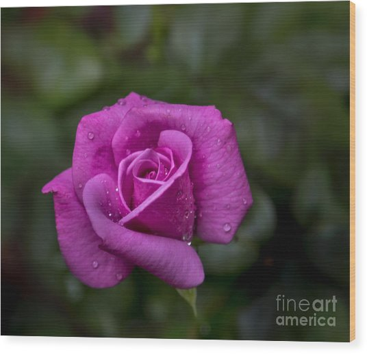 Wet Rose Wood Print